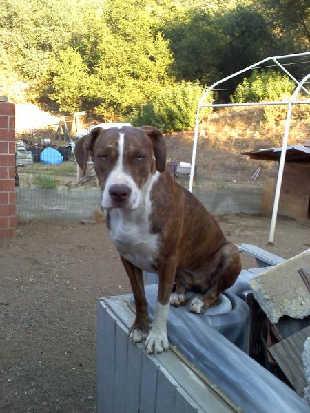 lost red brindle with white chest and feet pit bull  hound