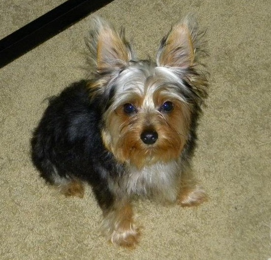Lost Blackbrown Yorkshire Terrier Yorkie San Diego Lost Dogs