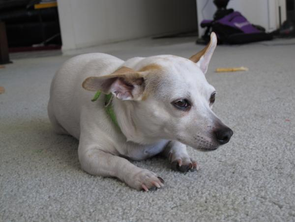 Lost White Chihuahua Mix San Diego Lost Dogs