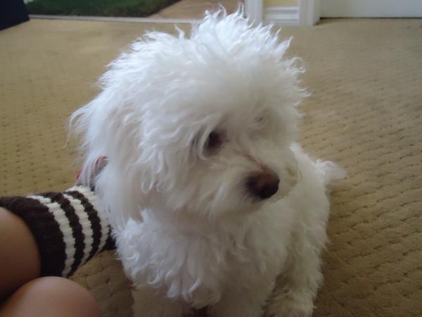 Lost All White Maltipoo | San Diego Lost Dogs