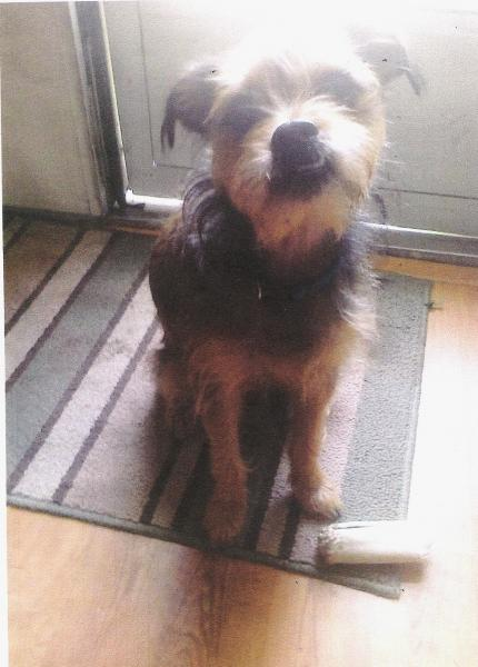 Lost Dark Brown And Gold Or Black And Brown Yorkshire Terrier