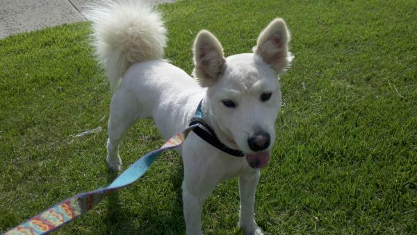 Found white chow/husky/pit mix? | San Diego Lost Dogs