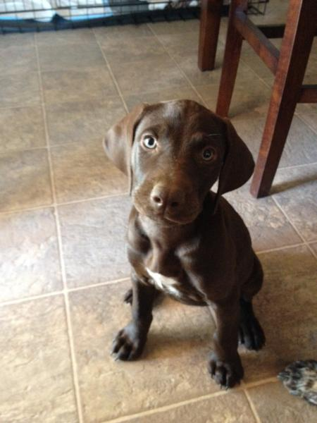 Lost Brown German Shorthaired Pointer Doberman Mix San