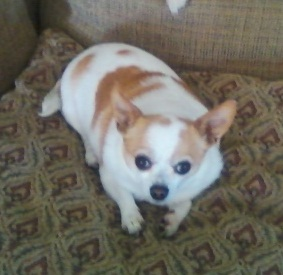 Gallery For > White Chihuahua Dogs With Brown Spots