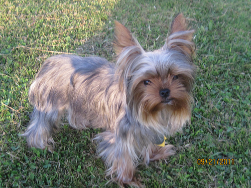 Silver Yorkie Terrier Dog type: yorkshire terrier