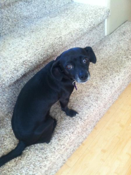 Lost Black Chiweenie | San Diego Lost Dogs