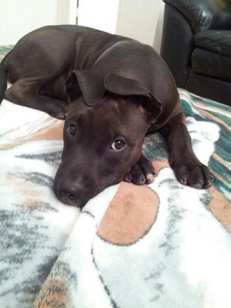 lost black  dark brown pitbull