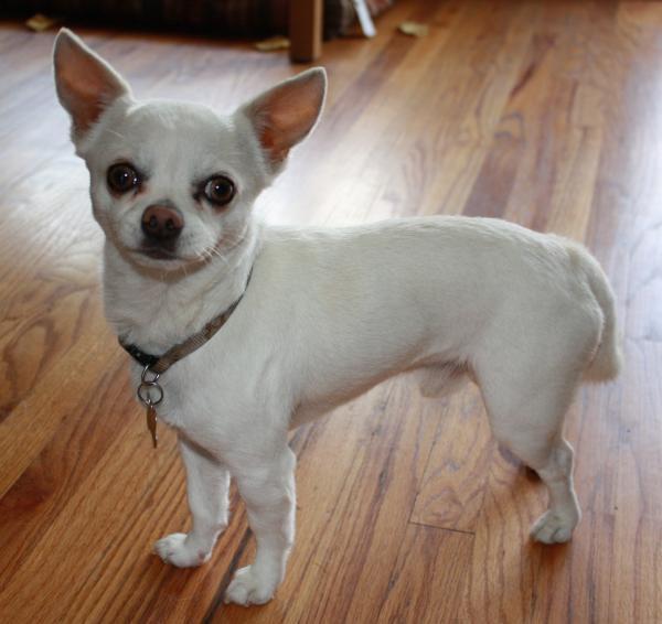 White Chihuahua Mix