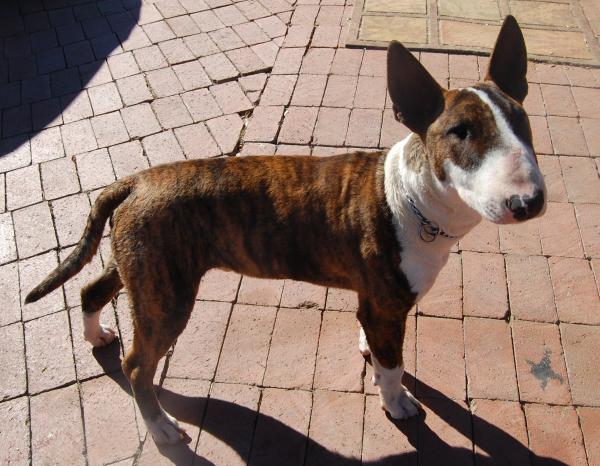 Lost White Amp Brindle English Bull Terrier San Diego Lost