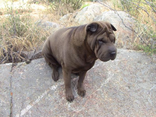 Lost Solid Brown Western Shar Pei San Diego Lost Dogs
