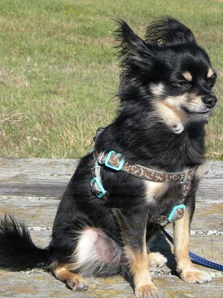Lost Moslty Black Then Tri Colored Chihuahua Long Hair
