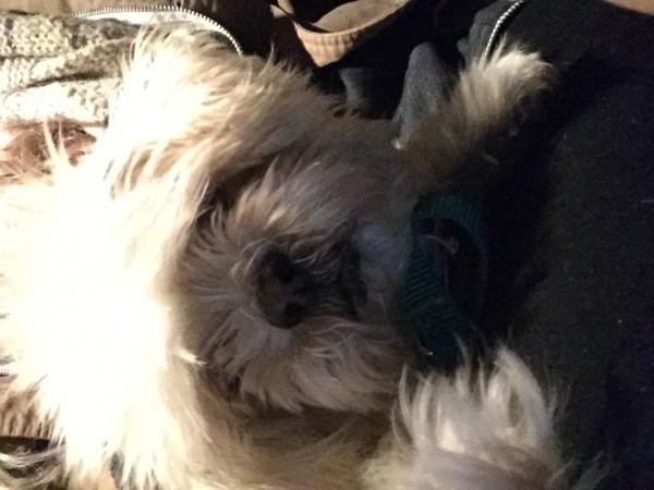 Found Beige Tan Shih Tzu San Diego Lost Dogs