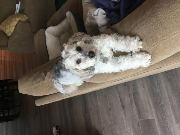 Lost Cream Maltipoo | San Diego Lost Dogs