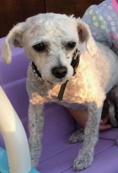 Lost White Maltipoo | San Diego Lost Dogs