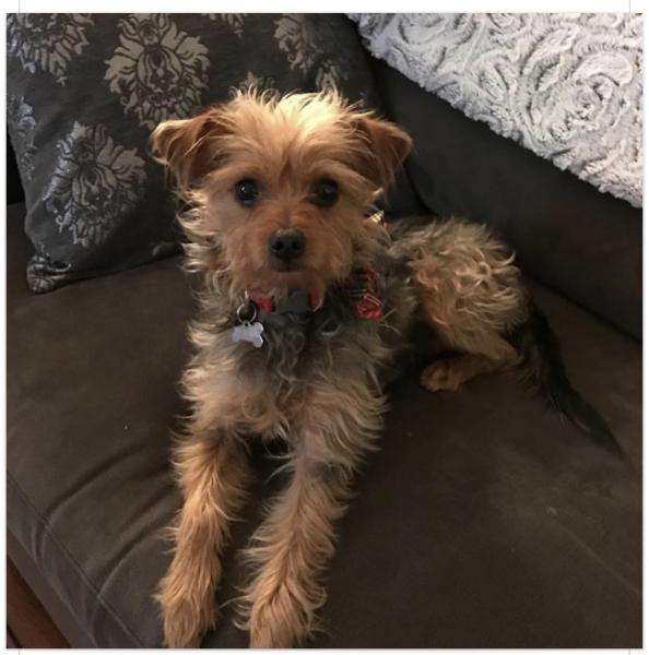 Lost Brown Black Tan Yorkshire Terrier Mix San Diego Lost Dogs