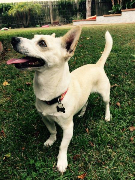 Lost Tan And White Rat Terrier Chihuahua Mix San Go