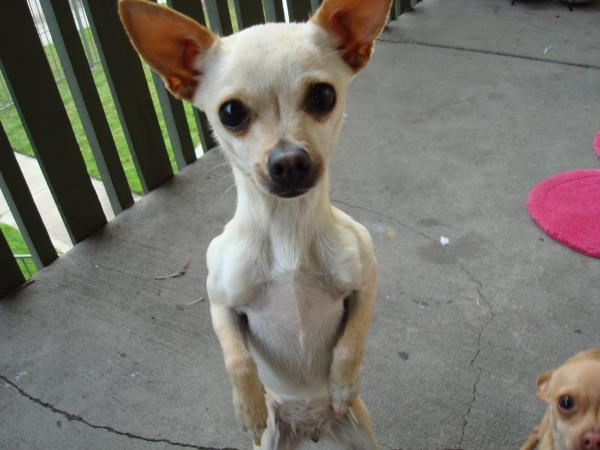 Lost Light brown Chihuahua  San Diego Lost Dogs