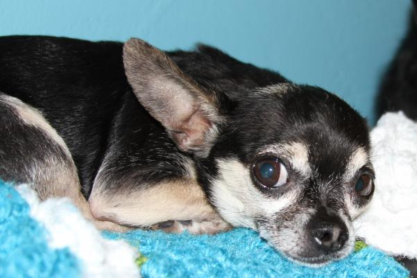 lost black and tan chihuahua   teacup