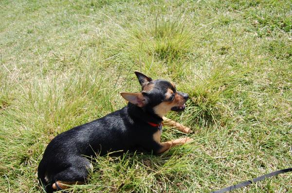 Lost Black And Brown Chihuahua Mini Pin Mix San Diego