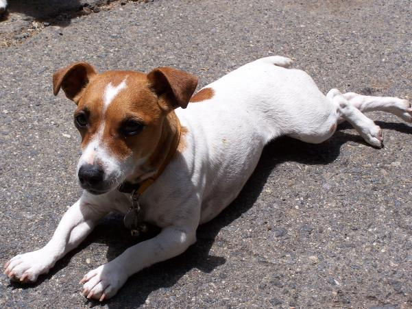 Brown And White Dog Lost White & Br...